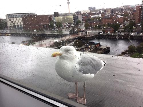 Liverpool gull