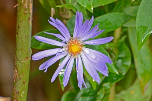 michaelmas daisy