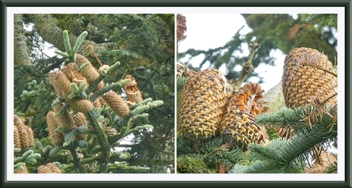 noble fir cones eaten (2)