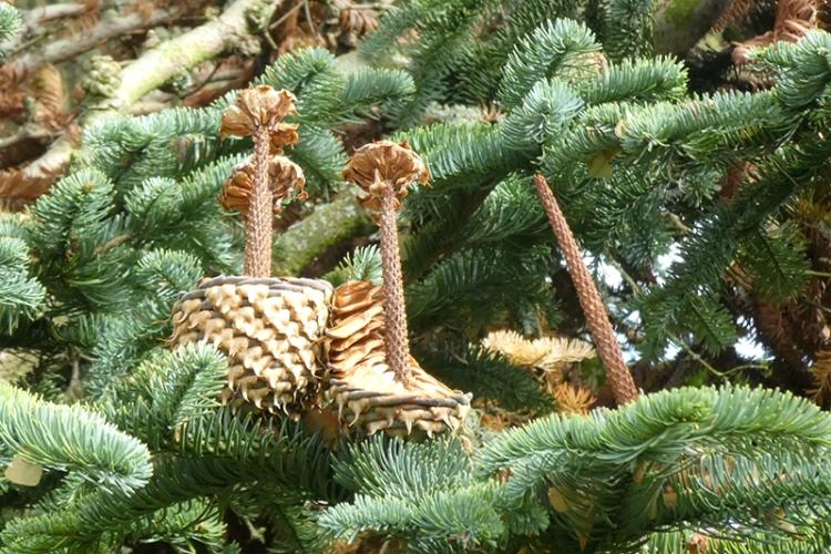 noble fir cones eaten
