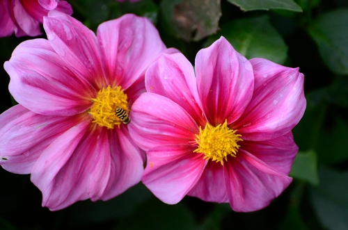 pair of dahlias