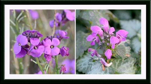 perennial wallflower and lamium