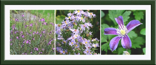 perennial wallflower, daisy, clematis