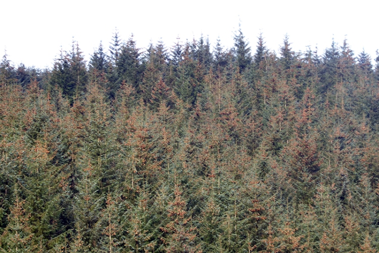 pine cone glut