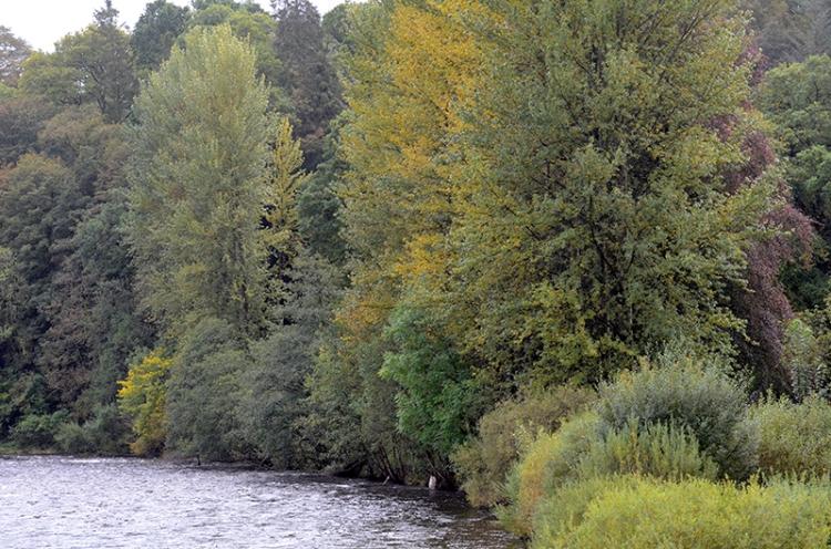 poplars beside Esk