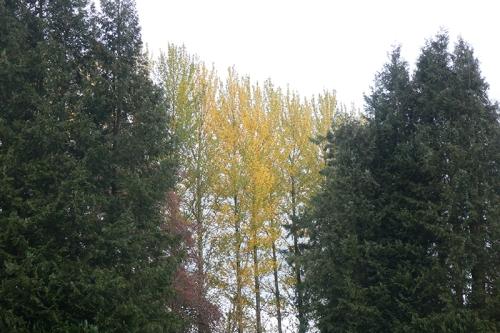 poplars from park