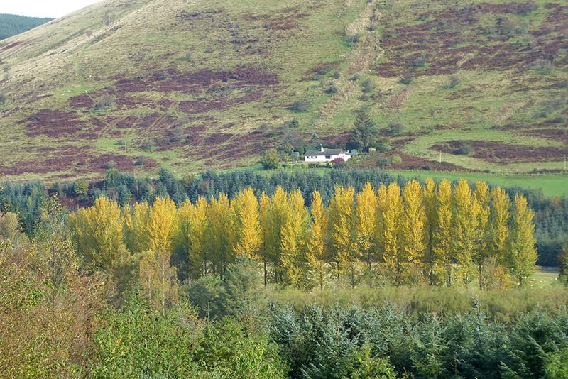 poplars near Craig
