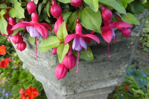 pot fuchsia oct 20