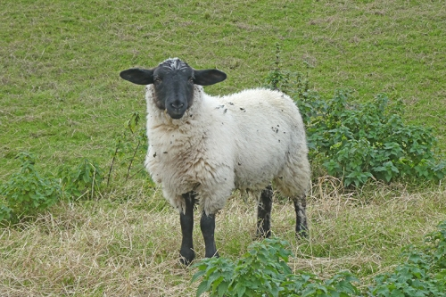 roanburn sheep