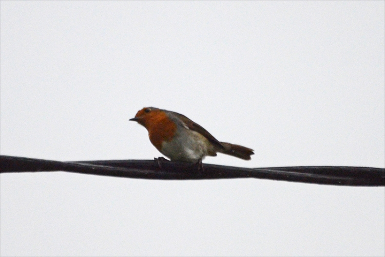 robin on wire