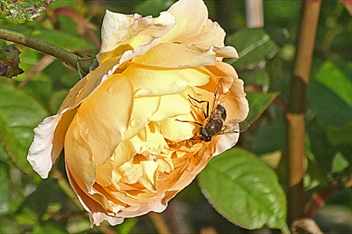 rose with insect