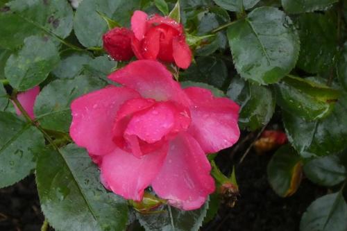 rosy cheeks rose