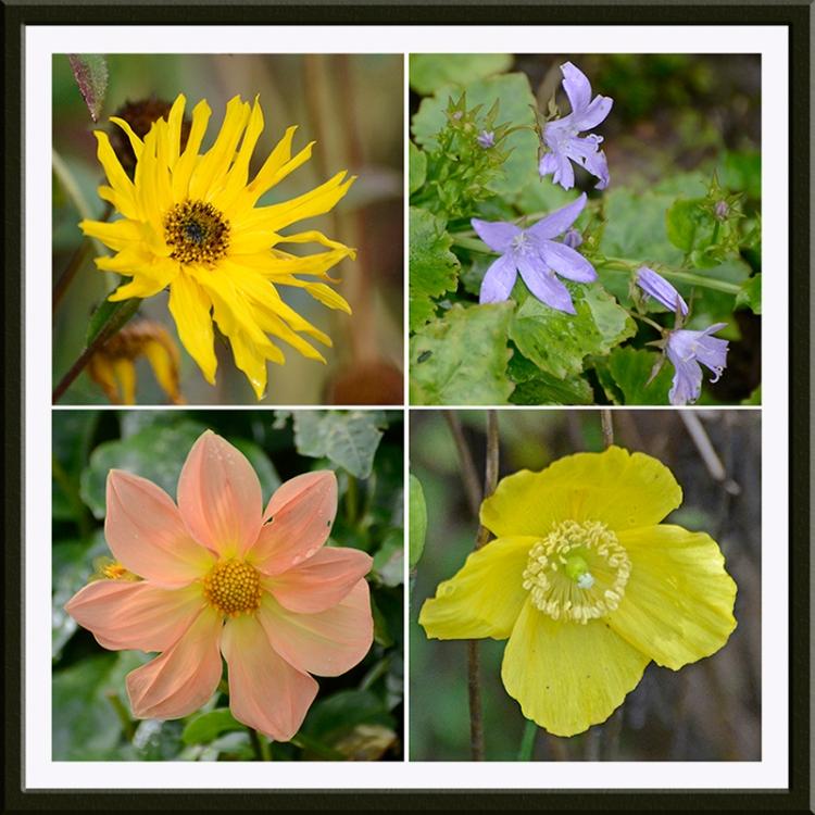 rudbeckia, campanula, dahlia and poppy