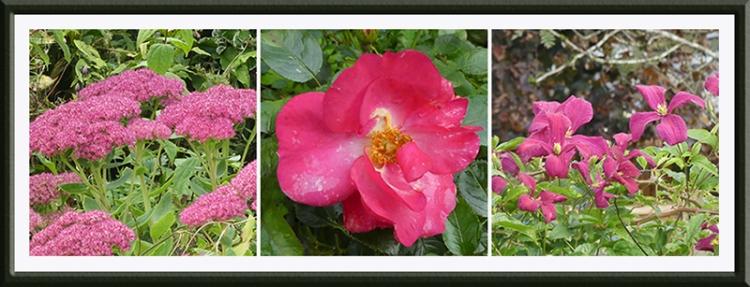 sedum rosy cheek clematis