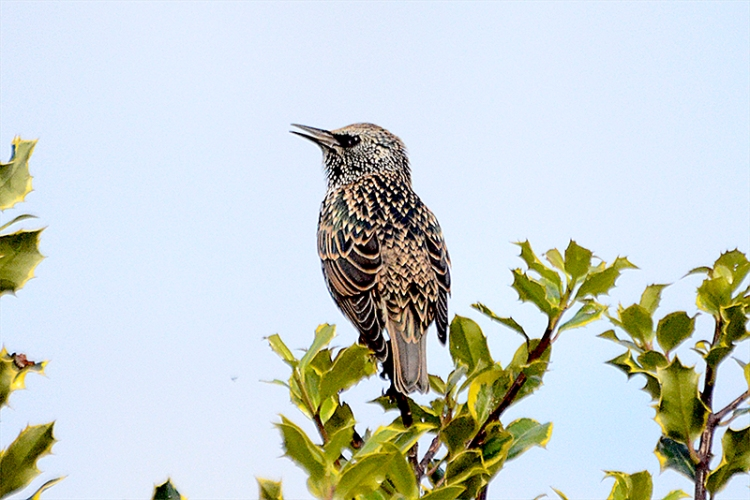 single starling on holly
