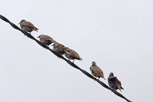 six starlings