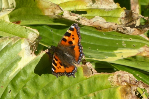 small tortoishell butterfly october