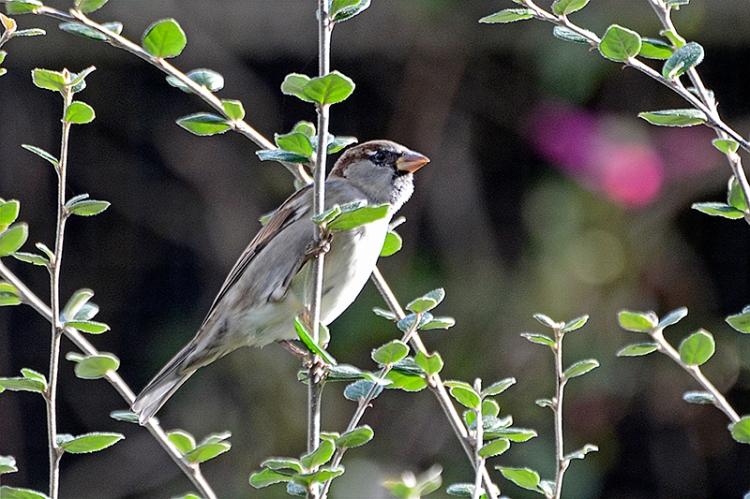sparrow behind twig
