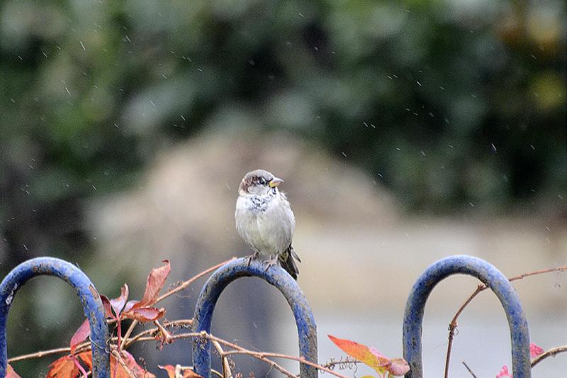 sparrow in rain on fence