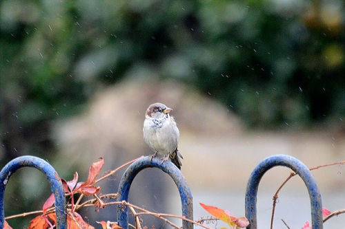 sparrow in rain on fence