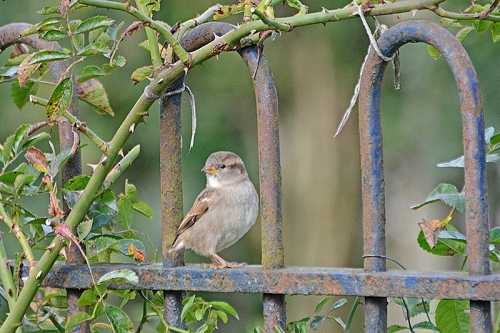 sparrow posing on fence 1