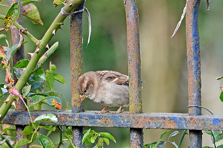 sparrow posing on fence 2