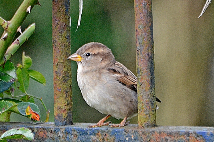 sparrow posing on fence 3