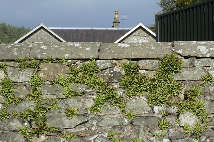 spleenwort wall