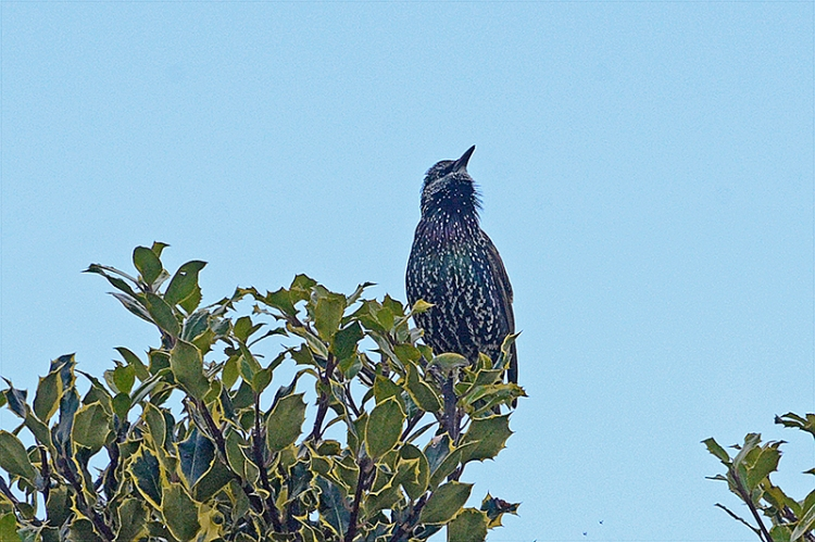 starling back on holly