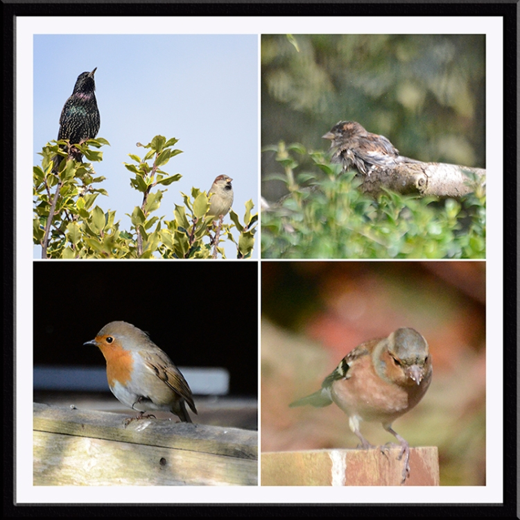 starling, chaffinch, robin and sparrow