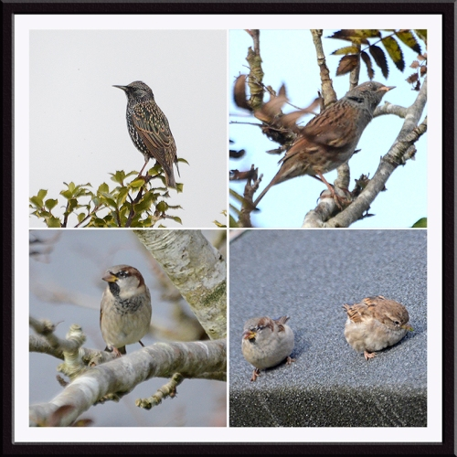 starling, dunnock, sparrows