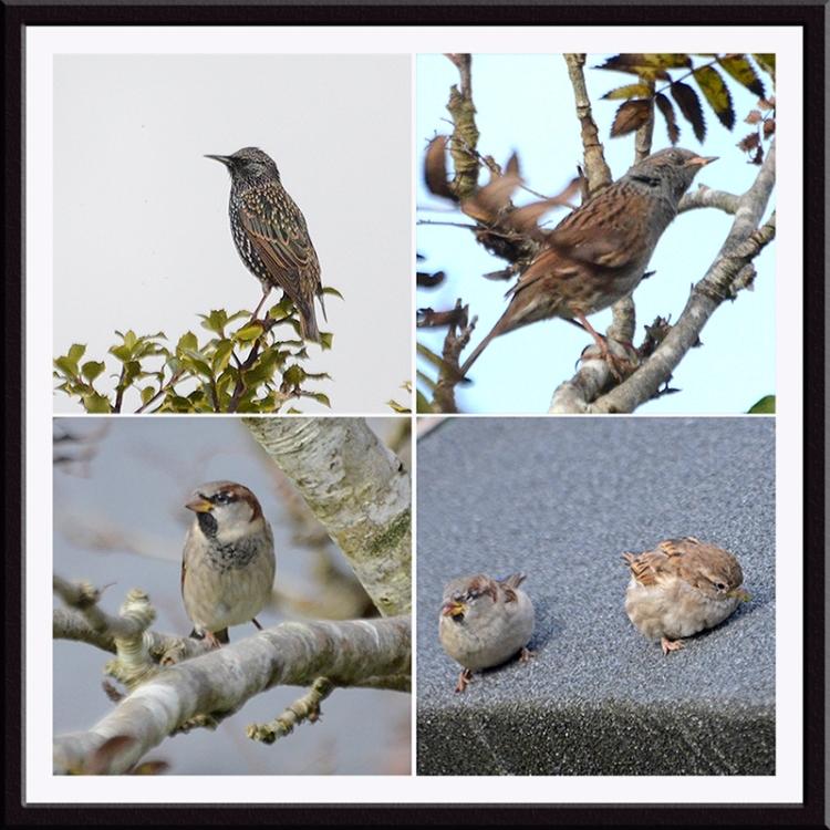 starling, dunnock, sparrows