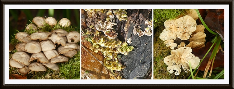 three gaskells fungi