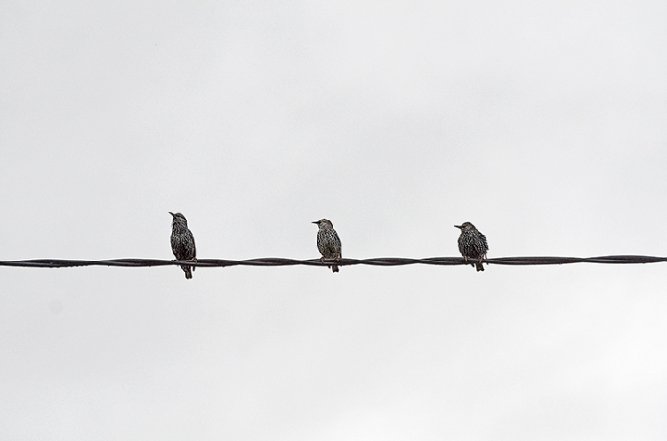 three starlings on wire