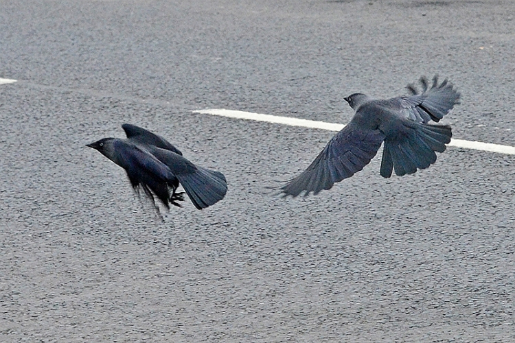 two flying jackdaws