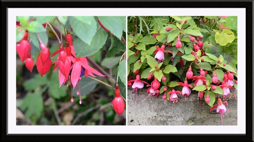 two fuchsia