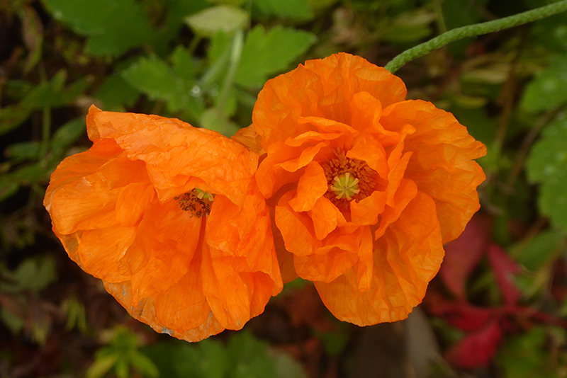 two icelandic poppies