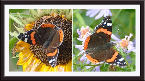 two red admiral; butterflies