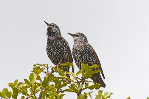 two starlings together
