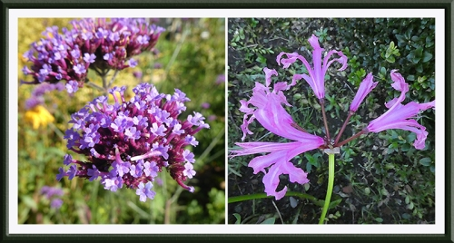 verbena and nerine