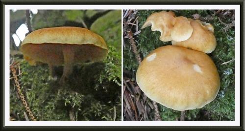 wauchope fungus 1