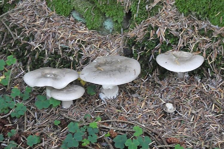 wauchope fungus again