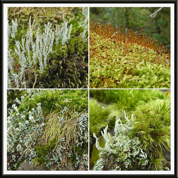 whita moss amnd lichen