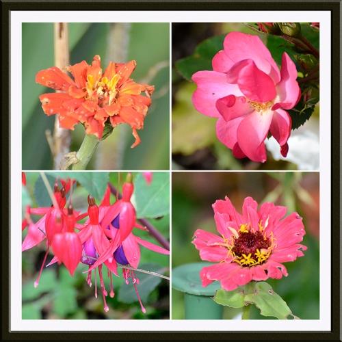 zinnia, rosy cheeks, fuchsia