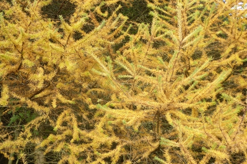 a golden larch