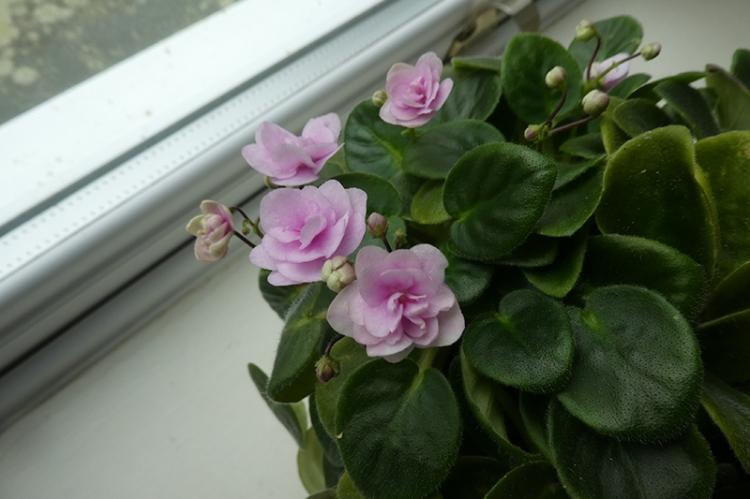 afrian violets
