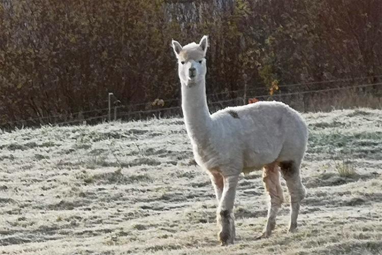alpaca from Tony