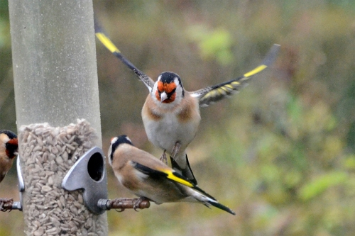 attacking goldfinch
