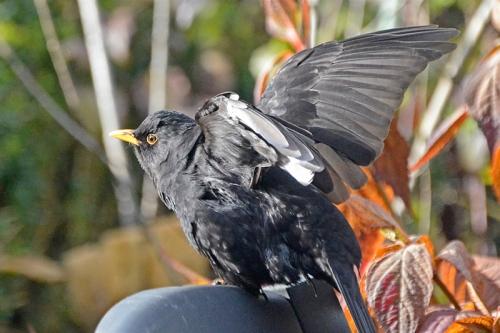 blackbird fluffing