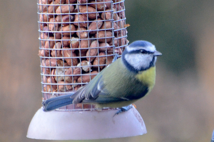 blue tit looking up